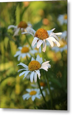 Metal Print featuring the photograph Dapper Daisies by Kathleen Holley