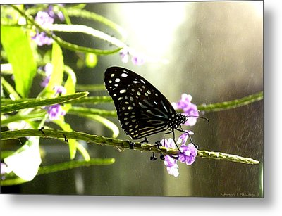 Dark Blue Tiger Butterfly In The Rain Metal Print