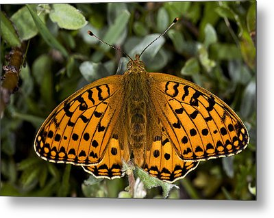 Dark Green Fritillary Butterfly Metal Print by Dr Keith Wheeler