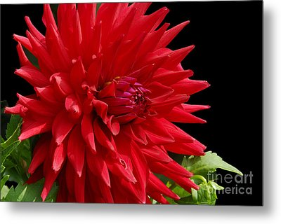 Decked Out Dahlia Metal Print