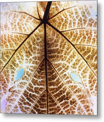 Decomposition Of Leaf Of A Grape Vine Metal Print by Dr Jeremy Burgess