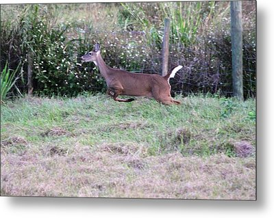Metal Print featuring the photograph Deer At Viera by Jeanne Andrews