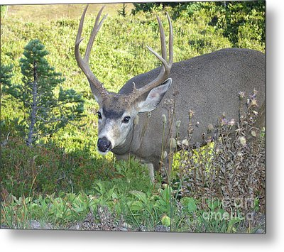 Deer Without Headlights Metal Print by Silvie Kendall