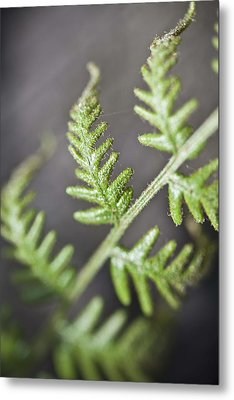 Metal Print featuring the photograph Delicate by Carole Hinding