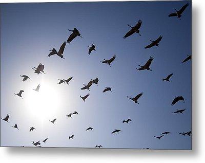 Demoiselle Cranes (anthropoides Virgo) Group Of Birds Flying, In Khichan, Rajasthan, India Metal Print by Berndt Fischer