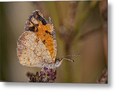 Dew Drenched Pearl Crescent Butterfly Metal Print by Bonnie Barry