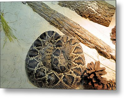 Diamond Back Rattler Metal Print by Jan Amiss Photography