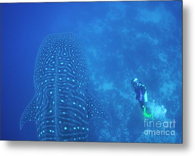 Diver Filmming A Whale Shark Metal Print by Sami Sarkis