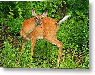 Doe A Deer Metal Print by Karol Livote