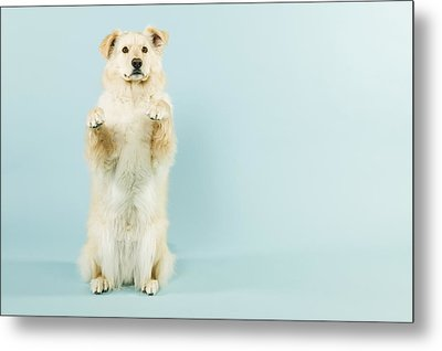 Dog Begging Metal Print by Grove Pashley