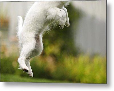 Dog Jumps Metal Print by Richard Wear