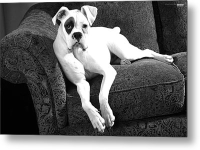 Dog On Couch Metal Print by Sumit Mehndiratta