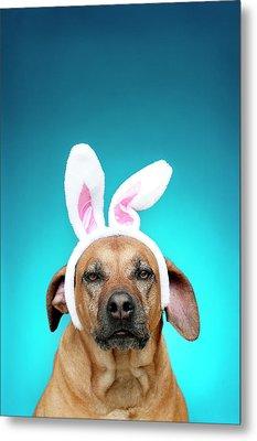 Dog Portrait Wearing Easter Bunny Ears Metal Print by Jade Brookbank
