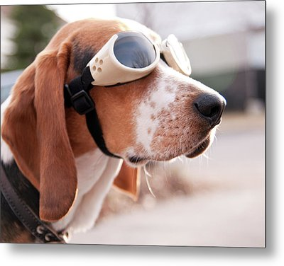 Dog Wearing Goggles Metal Print by Darren Boucher