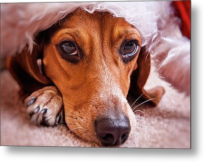 Dogs In Santa Hat Metal Print by Rich Johnson of Spectacle Photo