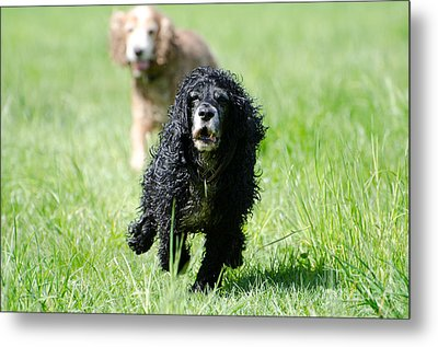 Dogs Running On The Green Field Metal Print by Mats Silvan
