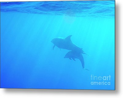 Dolphin Mother And Calf Metal Print by Sami Sarkis