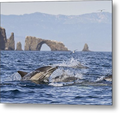 Dolphins With Arch Metal Print by Will Edwards