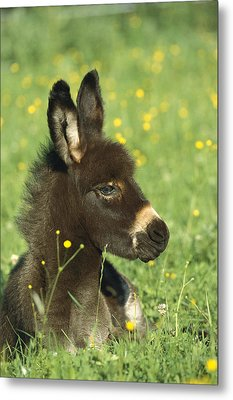 Donkey Equus Asinus Foal Resting Metal Print by Konrad Wothe