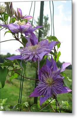 Double Clematis Named Crystal Fountain Metal Print by J McCombie