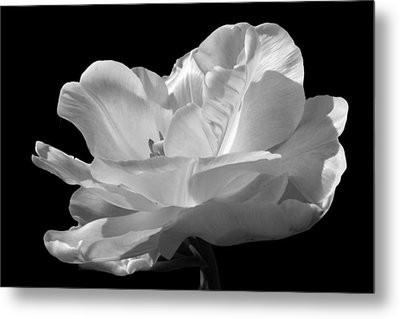 Double Late Angelique Tulip Metal Print by Darleen Stry