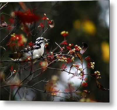 Downy Woodpecker And White Berries Metal Print by Scott Hovind