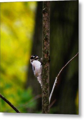 Downy Woodpecker Metal Print by Scott Hovind