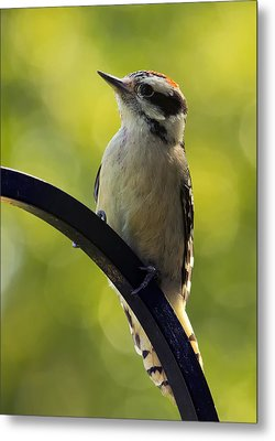 Downy Woodpecker Up Close Metal Print by Bill Tiepelman