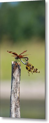 Dragon Fly Love Metal Print by Kelly Rader