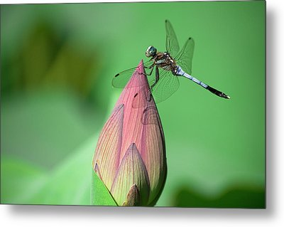 Dragonfly And Lotus Bud Metal Print by masahiro Makino