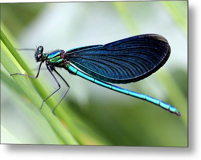 Dragonfly Metal Print by Charlotte Therese Bjornstrom