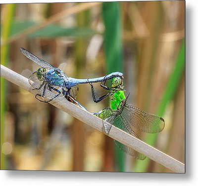 Dragonfly Love Metal Print by Everet Regal