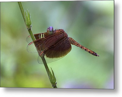 Dragonfly On A Leaf Metal Print by Zoe Ferrie