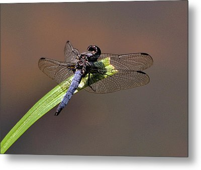 Dragonfly On Goose Feather Pond  - C2121b Metal Print by Paul Lyndon Phillips