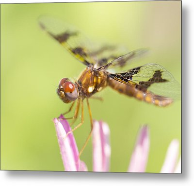 Dragonfly On Tip Of Cornflower Metal Print by Daphne Sampson