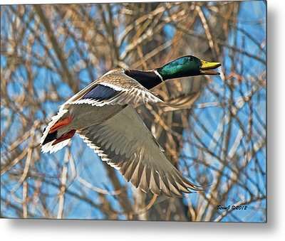 Metal Print featuring the photograph Drake In Flight by Stephen  Johnson
