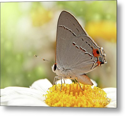 Dreamy Hairstreak Butterfly Metal Print