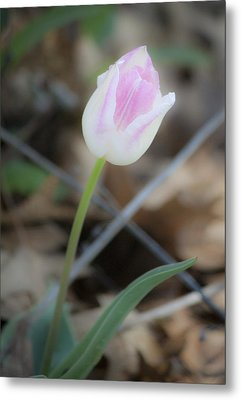 Dreamy Single Pink And White Tulip Metal Print