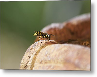 Drinking Bee Metal Print by Michel DesRoches