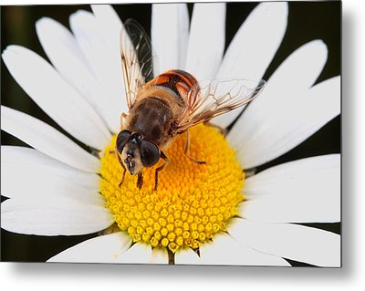 Drone Fly, Earistalis Metal Print by George Grall