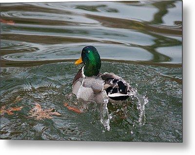 Duck Bathing Series 6 Metal Print by Craig Hosterman