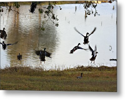 Duck Frenzy Metal Print by Douglas Barnard