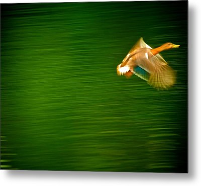 Duck In Motion Metal Print by Andre Faubert