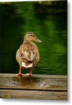 Duck On Dock Metal Print by Andre Faubert