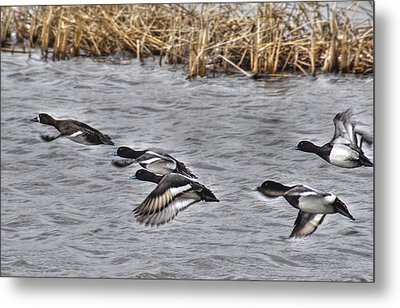 Metal Print featuring the photograph Ducks In Flight by Janice Adomeit
