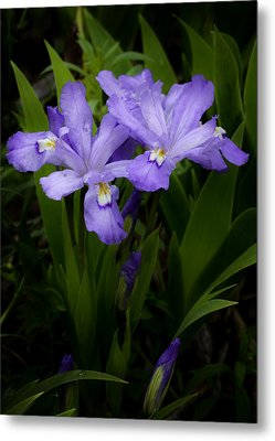 Dwarf Crested Iris Metal Print by Rob Travis