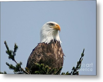 Metal Print featuring the photograph Eagle  by Mitch Shindelbower