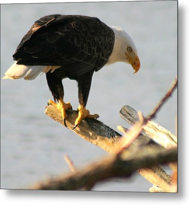 Eagle On His Perch Metal Print by Kym Backland