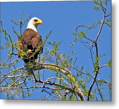 Eagle On Watch Metal Print by Kathy Ricca