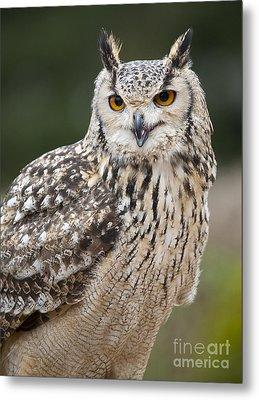 Eagle Owl II Metal Print by Chris Dutton